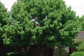 ホワイトアッシュの木 野球のバットに使われている木です。