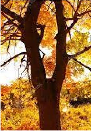 メイプルの木 野球のバット使われる木です。